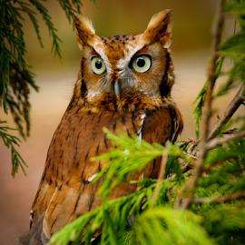 Who?? by Myra Brizendine Wilson - Animals Birds ( bird, birds of prey, charlotte raptor center, owl, birds,  )