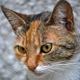 cat, al' originalan naslov... by Mario Denić - Animals - Cats Portraits ( cat, nice, photo, portrait, animal )