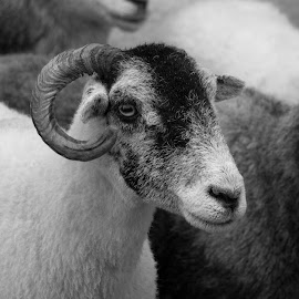 You looking at Me by Simon Franks - Animals Other ( black and white, sheep )