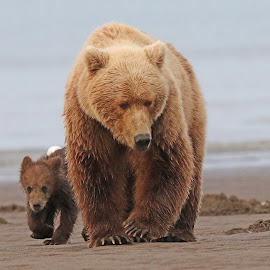 Mother and child  by Anthony Goldman - Animals Other Mammals ( bear, wild, predator, alaskan brown, alaska, mother cub, lake clark, clamming, beach )