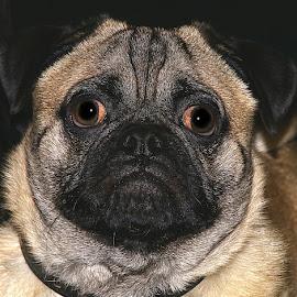 Zeb by Chrissie Barrow - Animals - Dogs Portraits ( mouth, portrait, pug, cream, pet, chow, fur, ears, dog, nose, crossbreed, black, eye )