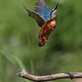 Kingfisher by Matteo Chinellato - Animals Birds ( bird, kingfisher, martin pescatore )