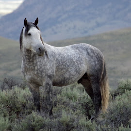 The Gray by Dave Bower - Animals Horses