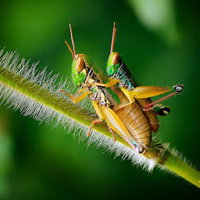 tak gendong by Rhonny Dayusasono - Animals Insects & Spiders