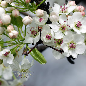 Spring's Early Blooms by M.H. O'Dell - Flowers Tree Blossoms