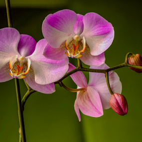 blooming orchid by Dale Youngkin - Flowers Flower Buds ( orchid, orchids, orchid bloom, bloom, flower,  )