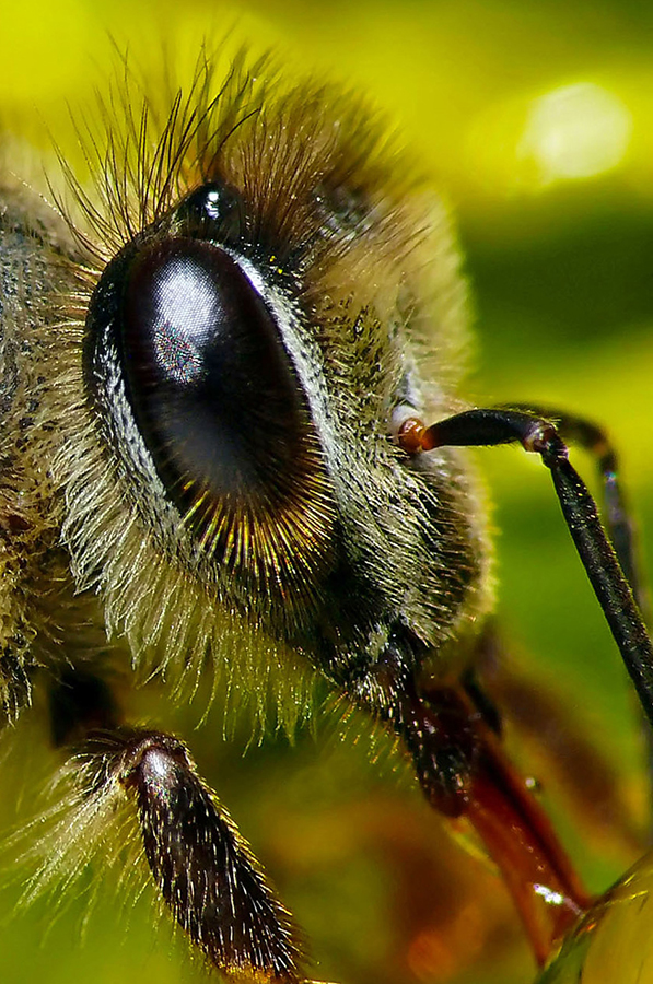 Honey Bee by Pieter Kotzee - Animals Insects & Spiders ( macro, bees, insects )
