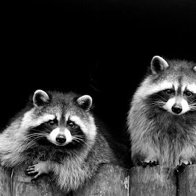 Raccoon Bandits by Fiona Etkin - Animals Other Mammals ( black background, zoo, black and white, raccoon, animal,  )