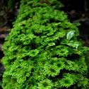 Umbrella Moss