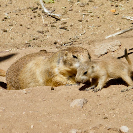 Prairie Dogs by Donna Probasco - Novices Only Wildlife