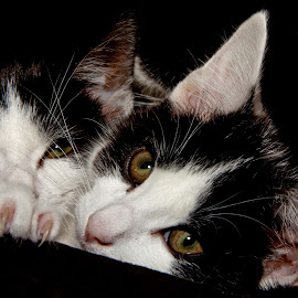 2 kittens by Mike Thornberry - Animals - Cats Kittens ( cats, animals, kitten, cute, claws )