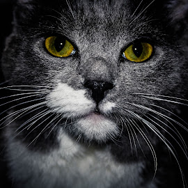 The Eyes! by Anthony Sapone - Animals - Cats Portraits ( cat, wiskers, yellow, portrait, eyes,  )
