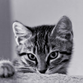 by Brook Kornegay - Animals - Cats Kittens (  )