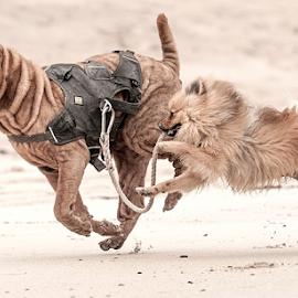 lets do it  by Michael  M Sweeney - Animals - Dogs Running ( scotland, dogs, d3, sharpei, beach, michael m sweeney, run, dog, nikon )