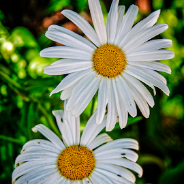 two daisies by Lennie Locken - Flowers Flowers in the Wild (  )