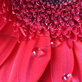 Red gerber by Peg Elmore - Nature Up Close Flowers - 2011-2013 ( water drops, red, daisy, flower, gerber )