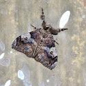 Painted Pine Moth