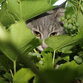 Merry in the Grapes by J.c. Phelps - Animals - Cats Portraits ( hidden, cat, gray cat, eyes, grapes )