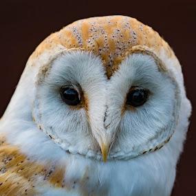 by Bea Welsh - Animals Birds ( bird, flight, owl, feathers, eyes,  )