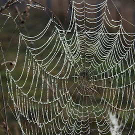 Nature's Magic by Di Mc - Nature Up Close Webs ( water, dew, weave, australia, web, spider web, droplets )