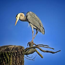 Grey heron by Dunja Kolar - Animals Birds ( maksimir, grey heron, croatia, zagreb )