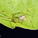 Silverdrop spider