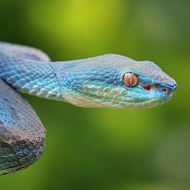 Danger blue by Kurit Afsheen - Animals Reptiles ( snake, blue, indonesia, reptile, closeup, animal )