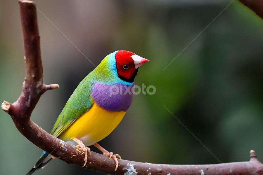 Color with Wings by Darren Sutherland - Animals Birds ( gouldian fich )