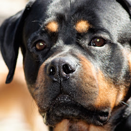 by Yasen Bachev - Animals - Dogs Portraits ( pet portrait dog pets looking at camera domestic animals close-up animal themes rottweiler )