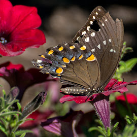 Black Swallowtail on Red Petunia by Judy Florio - Animals Insects & Spiders ( black swallowtail, butterfly, macro, red, summer, flowers, garden, petunias )