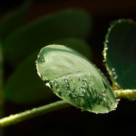 Soap tree by Melissa Allen - Nature Up Close Natural Waterdrops ( water, nature, tree, green, leaf, closeup )