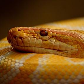 Sleeping Snake by Kresnata Adijaya - Animals Reptiles ( snake reptile )