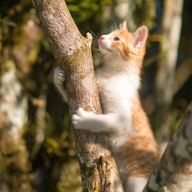 up is easy by Annette Flottwell - Animals - Cats Kittens ( kitten, tree, marmelade, ginger, arbol, gatito,  )