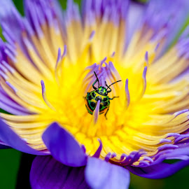 Bug by Minh Hải - Animals Insects & Spiders ( shell, old, wood, common, colorful, tropical, wildlife, insect, beetle, lotus, macro, nature, leafs, tree, rare, specimen, pentatomoidea, metallic, light, rain, orange, lucanidae, wing, scarab, monster, green, mimosa, saproxylic, malaysia, forest, leg, violet, background, bug, summer, shield, natural, small )