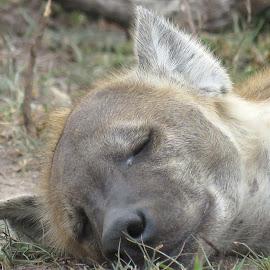 Hyena - Sleeping Beauty. by Lanie Badenhorst - Animals Other Mammals