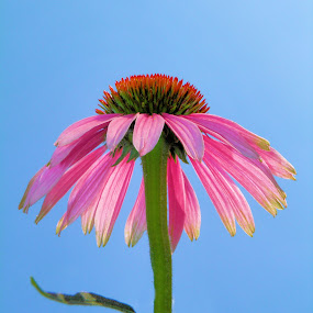 against the sky by Teresa Wooles - Nature Up Close Flowers - 2011-2013 ( nature, pink, bloom, landscape, flower )