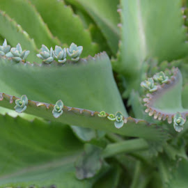 Lia's plant.  I want one! by Liz Rosas - Nature Up Close Gardens & Produce