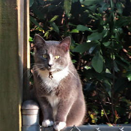Mouser by Hal Gonzales - Animals - Cats Portraits ( hunter, fence, cat, sitting, hunting,  )