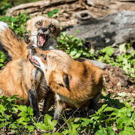 The Mouse Escapes by Valerie Cozart - Animals Other Mammals ( animals, nature, wildlife, red foxes )
