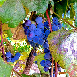 Concord Grapes Ready for Harvest by Carolyn Taylor - Instagram & Mobile iPhone