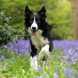 Running in the bluebells. by Gareth Evans - Animals - Dogs Running ( border collie, dog, woods, bluebells )