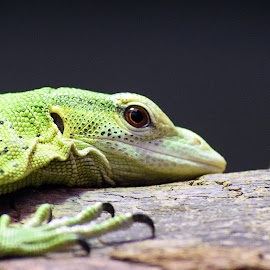 Green Lizard by Fiona Etkin - Animals Reptiles ( black background, lizard, nature, green, claws, reptile, animal )