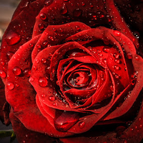 Red Rose by Nishidha Patil - Nature Up Close Flowers - 2011-2013 ( water drops, red rose, rose at sunset )