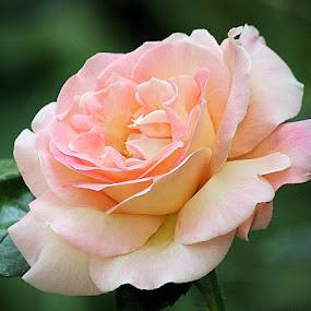 by Lena Arkell - Flowers Single Flower ( orange, rose, single, peach, pink, flower, soft,  )