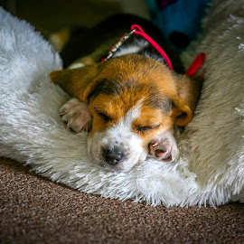 Beagle Puppy by Kevin Litchfield - Animals - Dogs Puppies ( sleeping beagle, beagle puppy, puppy, beagle )