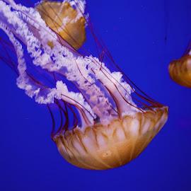 Sea Ballerina. by Damien Hutley - Animals Amphibians ( water, fluid, nature, sting, beautiful, aquarium, cnidarian, seanettle, jellyfish )