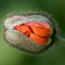 Poppy 9960 by Raphael RaCcoon - Flowers Flower Buds