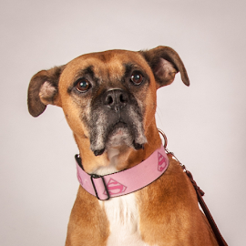 Molly by Myra Brizendine Wilson - Animals - Dogs Portraits ( canine, molly, boxer, pet, boxer dog, dog,  )