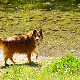 Ginger Lily  by Kathleen Koehlmoos - Animals - Dogs Portraits ( dogs going swimming, stream, hiking with dogs, pretty dog, hiking )