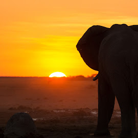 Sunset Ellie by Chris Ovens - Animals Other Mammals